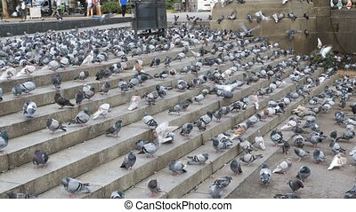 Flock of Pigeons Eating Bread Outdoors in the City Street