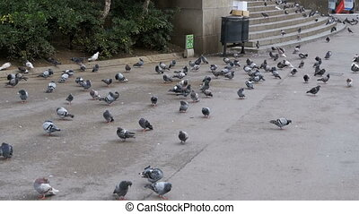 Flock of Pigeons Eating Bread Outdoors in the City Park....