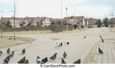 Flock of pigeons eating switchgrass on street