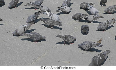 Flock of pigeons feeding on the town square
