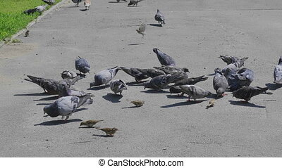 Flock of pigeons feeding on the town square.