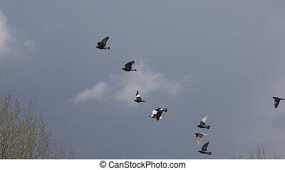 flock of pigeons flies in a stormy sky, wildlife