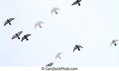 flock of pigeons flies in the winter sky, winter,...