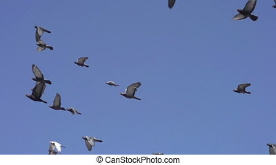 Flock of Pigeons in the Blue Sky