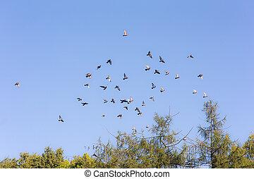flock of pigeons in the sky