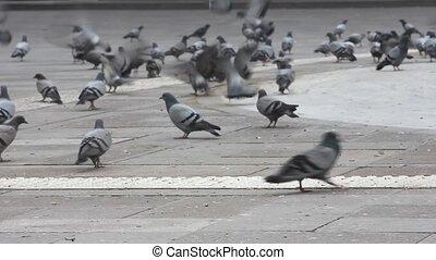 flock of pigeons in the street