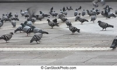 flock of pigeons in the street