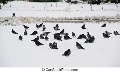 flock of pigeons on snow