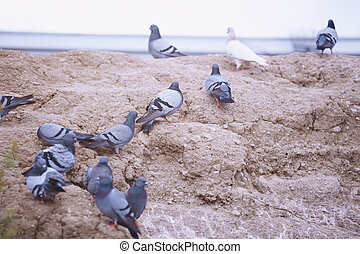 Flock of pigeons on the rock. Close-up view