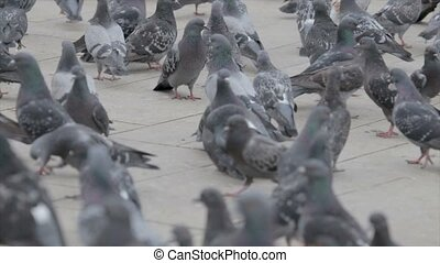 Flock of pigeons on the street