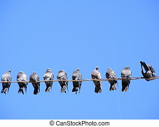 Flock of pigeons on the wire - Flock of street pigeons ...