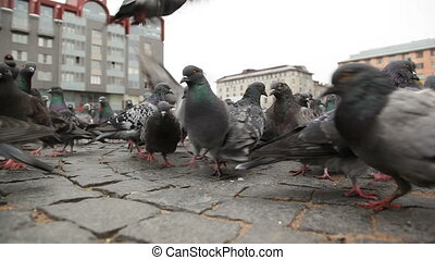 Flock of pigeons searching for food on the Red square of Vyborg, Russia. Shooting from the bottom point