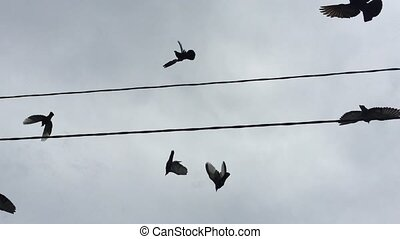 Flock  of pigeons sit on wires, and then fly away