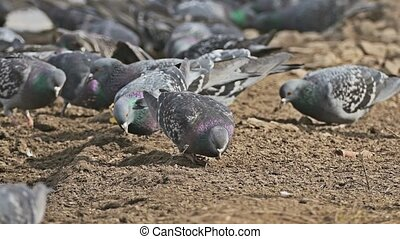 flock of pigeons sitting dove on the brown earth bird grain...
