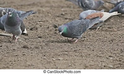 flock of pigeons sitting on the brown earth bird dove pecks...