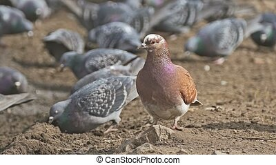 flock of pigeons sitting on the dove brown earth bird grain...