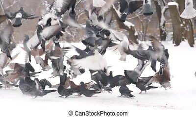Flock of Pigeons Taking Off - Flock of birds taking of from...