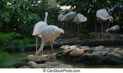 Flock of pink flamingos (Phoenicopterus). Bangkok, Thailand.