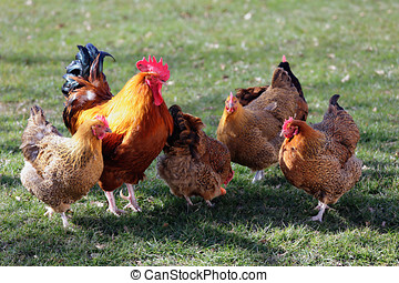 Flock of poultry with one rooster