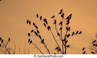 flock of raven birds autumn sitting on tree dry branches of trees sunset orange silhouette. crows birds flock