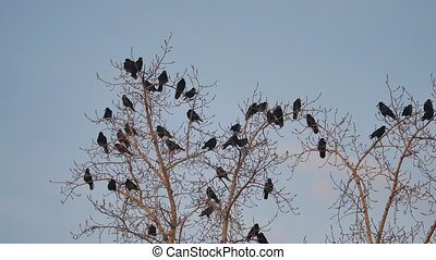 flock of raven birds sitting autumn on a tree dry branches of trees. crows birds flock