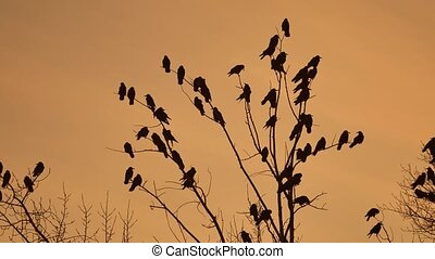flock of raven birds sitting autumn on tree dry branches of trees sunset orange silhouette. crows birds flock