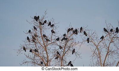 flock of raven birds sitting on a autumn tree dry branches...