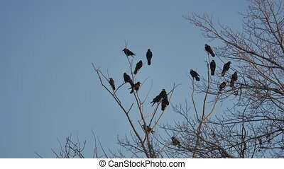 flock of raven birds sitting on a tree autumn dry branches...
