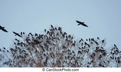 flock of raven birds sitting on a tree dry autumn branches of trees. crows birds flock