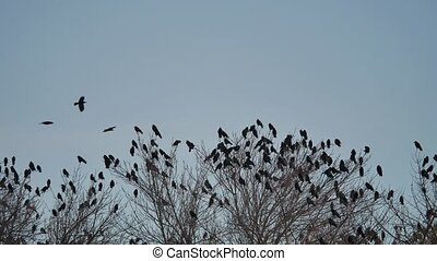 flock of raven birds sitting on a tree dry branches of trees. crows autumn birds flock