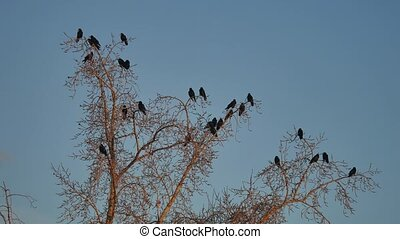 flock of raven birds sitting on a tree dry branches of trees. crows birds autumn flock