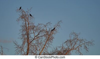 flock of raven birds sitting on a tree dry branches of...