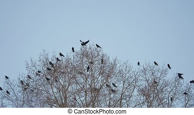 flock of raven birds sitting on autumn tree dry branches of trees. crows birds flock