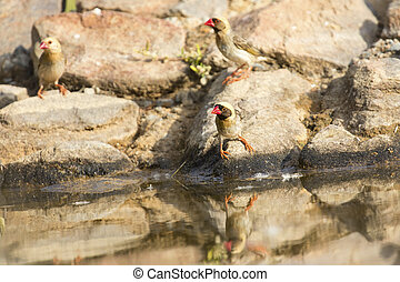 Flock of Red Billed Quelea sitting on a rock at a waterhole in the Kalahari