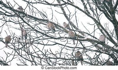 flock of ringed turtle doves sits on a tree under the falling snow, wildlife