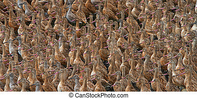 Flock of Sand Pipers