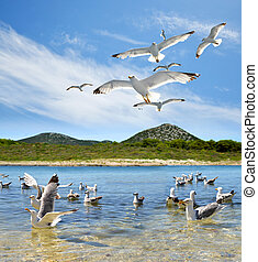 Flock of seagull near the Pasman island. Croatia.