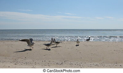 Flock of seagulls eat the food on the beach, as background