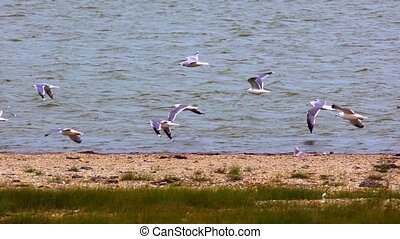 Flock of seagulls fluing above lake. Slow motion video