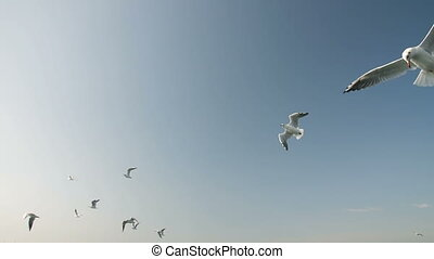 Flock of Seagulls - Flying flock of seagulls in slow motion