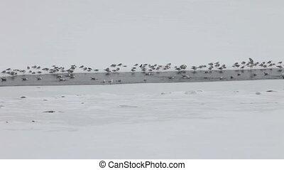 Flock of Seagulls on ice
