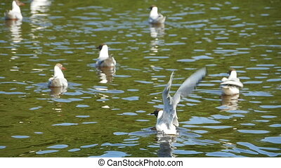 seagulls taking off from water - flock of seagulls taking...