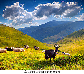 flock of sheep and goat in the mountains at summer