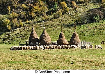 Flock of sheep and haystacks at autumn