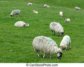 flock of sheep and lambs grazing in fields in yorkshire england