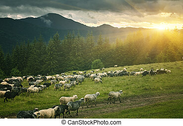Flock of sheep at sunset. Sheeps in a meadow in the mountains.