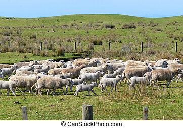 Flock of sheep runs away during herding in New Zealand.