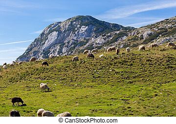 Flock of sheep eating green grass in the foothills