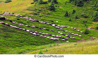 Flock of sheep go to the pastures. Shepherd leads the sheep...
