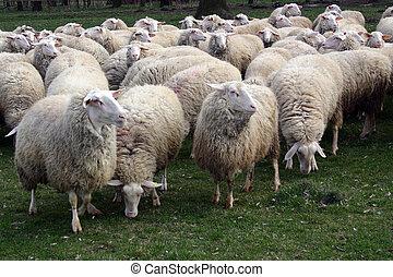 Flock of sheep graze fresh grass